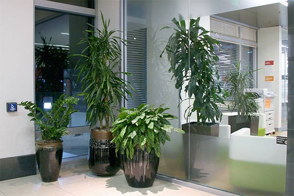 Leasing indoor plants plant friends llc for Low maintenance office plants