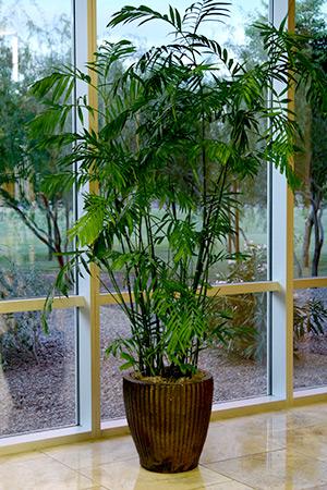 Indoor Plant Chamadorea Seifrizii